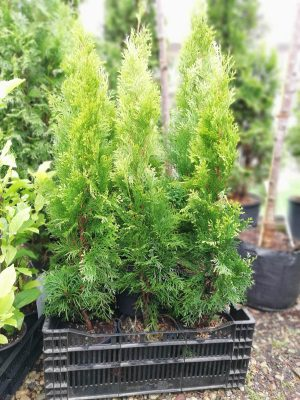 Here the emerald 40-60 cm / Thuja Occidentalis Smaragd /